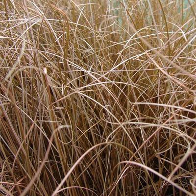 Carex comans 'Bronze Form' - Zegge - Carex comans 'Bronze Form'