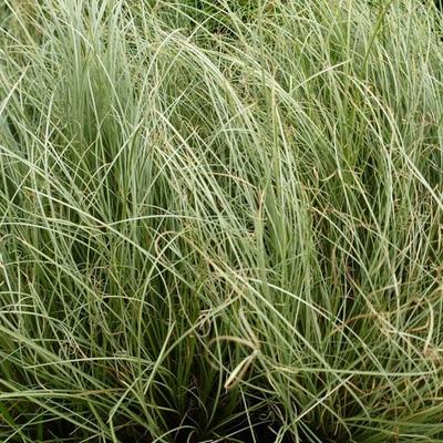 Carex comans 'Frosted Curls' - Zegge - Carex comans 'Frosted Curls'