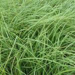 Carex flacca - Zegge - Carex flacca