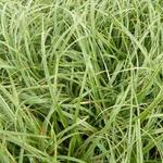 Carex flacca 'Buis' - Carex flacca 'Buis' - Zegge