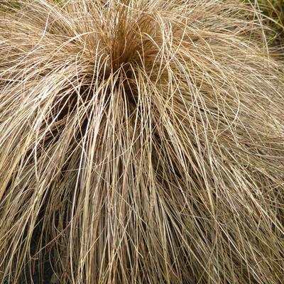Carex flagellifera -
