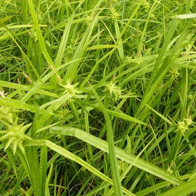 Carex grayi -