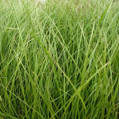 Carex howardii 'Phoenix Green' - Zegge - Carex howardii 'Phoenix Green'