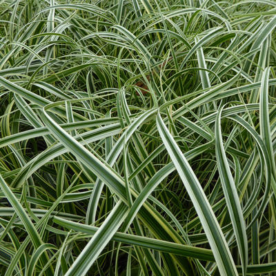 Carex 'Feather Falls' -