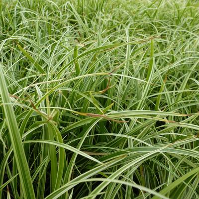 Carex 'Silver Sceptre' -