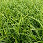Zegge - Carex morrowii