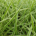 Carex morrowii 'Aureovariegata' - Zegge