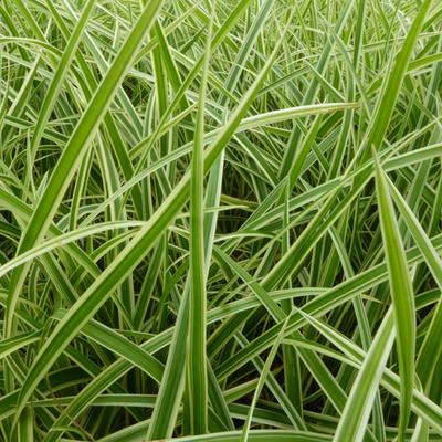 Carex morrowii 'Aureovariegata' -