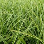 Carex morrowii 'Gilt' - Zegge