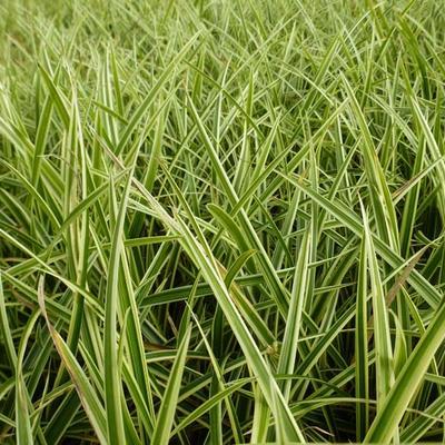 Carex morrowii 'Goldband' -