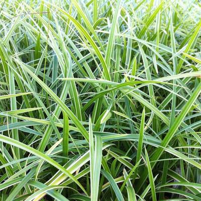 Carex morrowii 'Ice Dance' - Zegge