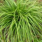 Carex morrowii 'JS Mosten' - Zegge - Carex morrowii 'JS Mosten'
