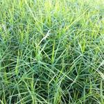 Palmbladzegge - Carex muskingumensis 'Little Midge'