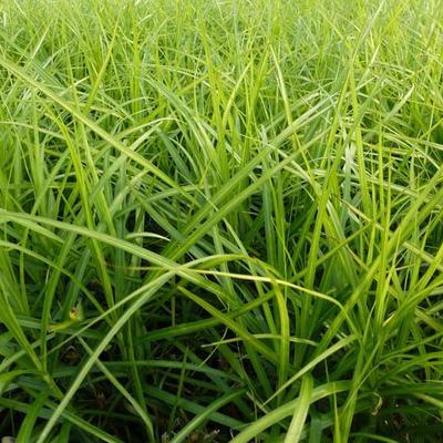 Carex muskingumensis 'Silberstreif' -