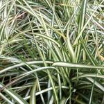 Carex ornithopoda 'Variegata' - Carex ornithopoda 'Variegata' - Zegge, Vogelzegge