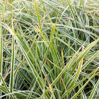 Carex oshimensis 'Everest'