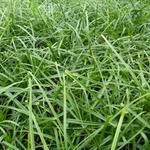 Carex oshimensis 'Evergreen' - Zegge, Japanse zegge - Carex oshimensis 'Evergreen'