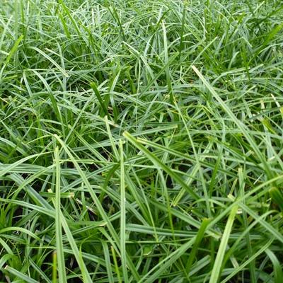 Carex oshimensis 'Evergreen' -