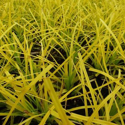 Carex oshimensis 'Everillo' -