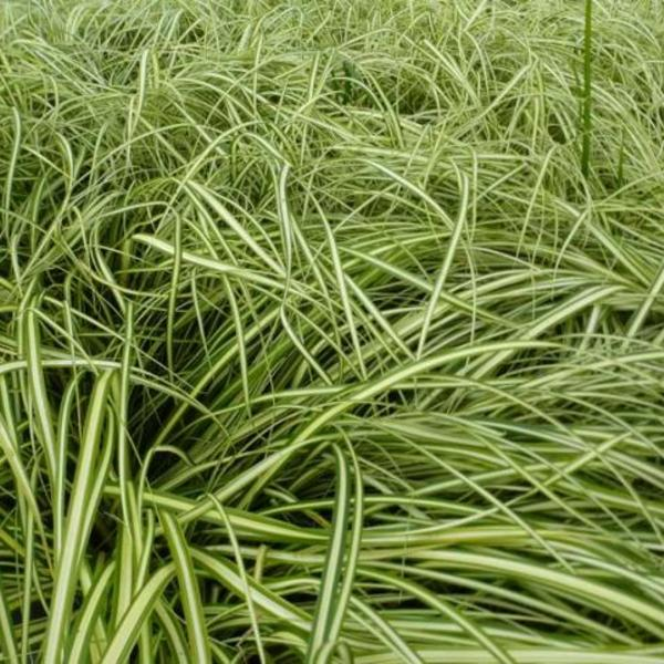 Carex oshimensis 'Ice Cream'
