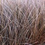 Carex petriei - Carex petriei - Bruine zegge
