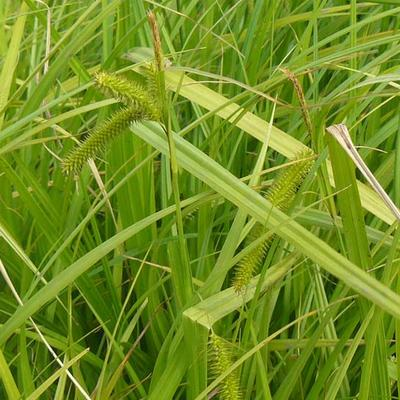 Carex pseudocyperus -