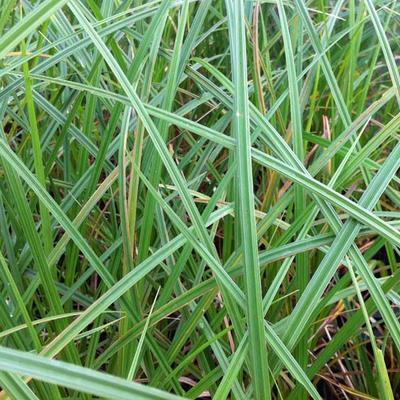 Carex riparia -