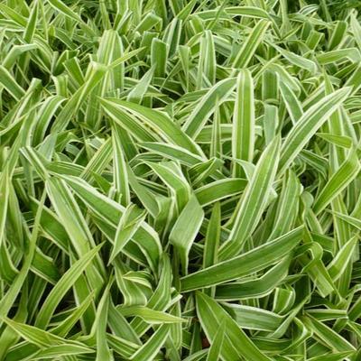 Carex brunnea 'Variegata' -