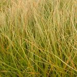 Carex testacea - Zegge - Carex testacea