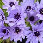 Catananche caerulea - Blauwe strobloem - Catananche caerulea