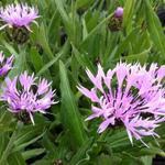 Centaurea montana 'Carnea' - Korenbloem - Centaurea montana 'Carnea'