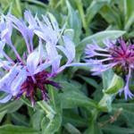 Centaurea montana 'Coerulea' - Korenbloem - Centaurea montana 'Coerulea'