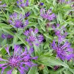 Centaurea montana 'Violetta' - Blauwe strobloem - Centaurea montana 'Violetta'