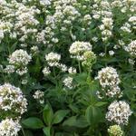 Witte spoorbloem (Rode Valeriaan) - Centranthus ruber 'Albus'