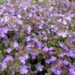 Kleine leeuwenbek, Dwergleeuwentand - Chaenorhinum origanifolium 'Blue Dream'