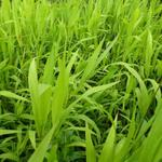 Chasmanthium latifolium  - Plat arengras - Chasmanthium latifolium