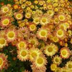 Chrysanthemum indicum 'Dernier Soleil' - Chrysant - Chrysanthemum indicum 'Dernier Soleil'