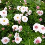 Chrysanthemum  indicum 'Julia' - Chrysanthemum  indicum 'Julia' - Chrysant