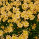 Chrysanthemum 'Mary Stoker' - Chrysant