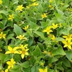 Chrysogonum virginianum . - Chrysogonum virginianum . - Goudkorfje