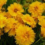 Coreopsis grandiflora 'Sunray' - Meisjesogen - Coreopsis grandiflora 'Sunray'