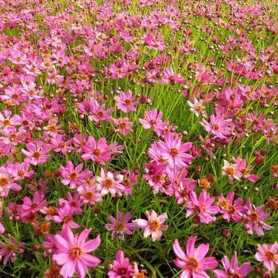 Coreopsis 'Limerock Passion' - Meisjesogen - Coreopsis 'Limerock Passion'