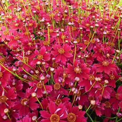 Coreopsis 'Limerock ruby' - Meisjesogen - Coreopsis 'Limerock ruby'
