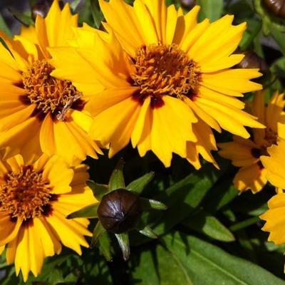 Coreopsis grandiflora 'Rotkehlchen' -