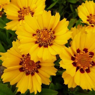 Coreopsis lanceolata 'Walter' -