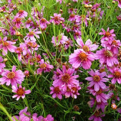 Coreopsis rosea 'Heaven's Gate'  -