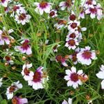 Meisjesogen - Coreopsis rosea 'Sweet Dreams'