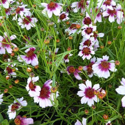 Coreopsis rosea 'Sweet Dreams'  - Meisjesogen - Coreopsis rosea 'Sweet Dreams'