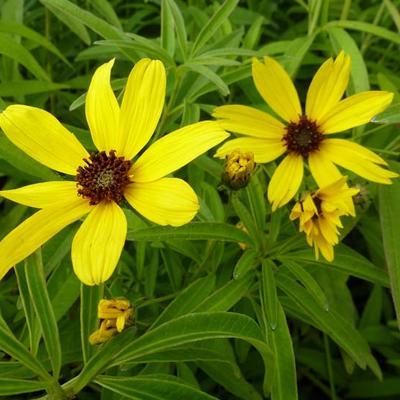 Coreopsis tripteris  - Meisjesogen - Coreopsis tripteris