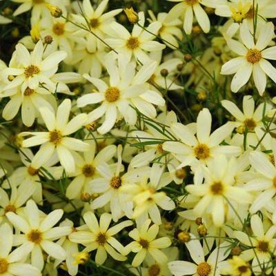 Coreopsis verticillata 'Moonbeam'  - Meisjesogen  - Coreopsis verticillata 'Moonbeam'